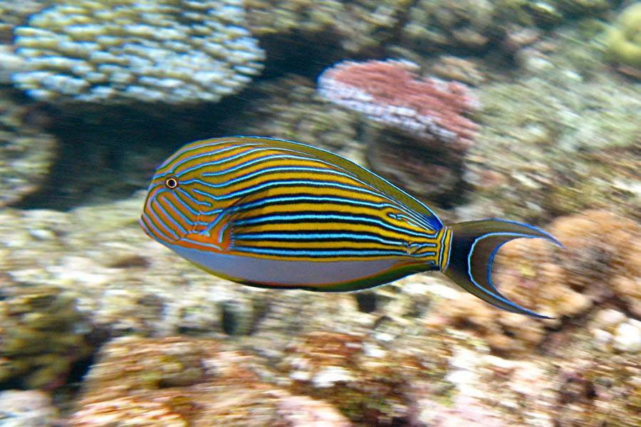 Striped Sturgeonfish