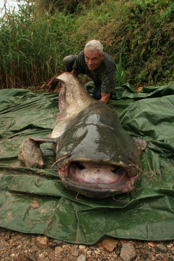 Wels Catfish Strange River Fish