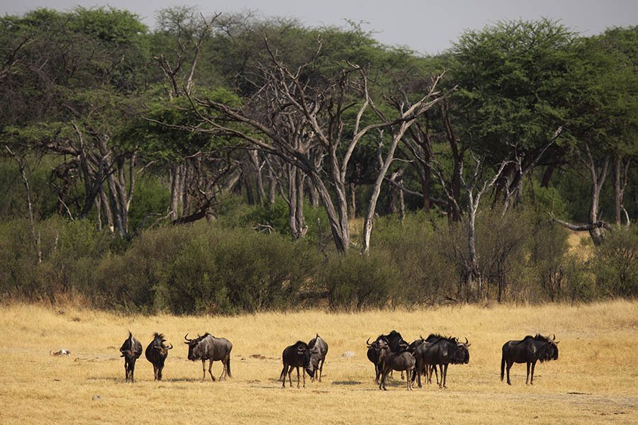 Zimbabwe Matabeleland North Hwange National Park   A Herd Of Wildebeest (Connochaetes Taurinus)