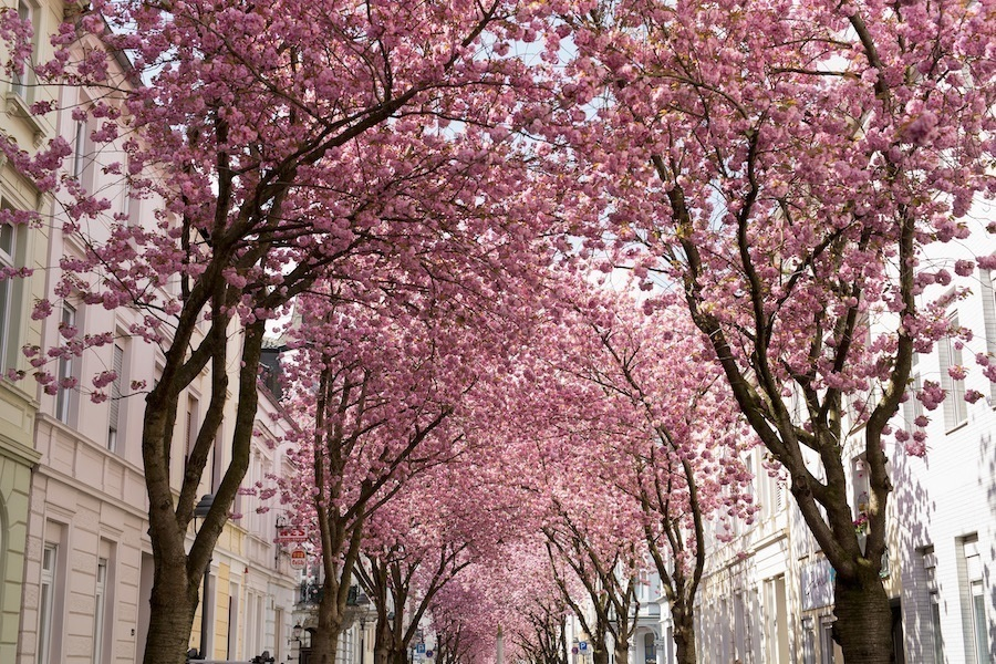Germany Cherry Blossom