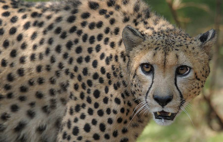 A Male African Cheetah Name Dark Is Rele