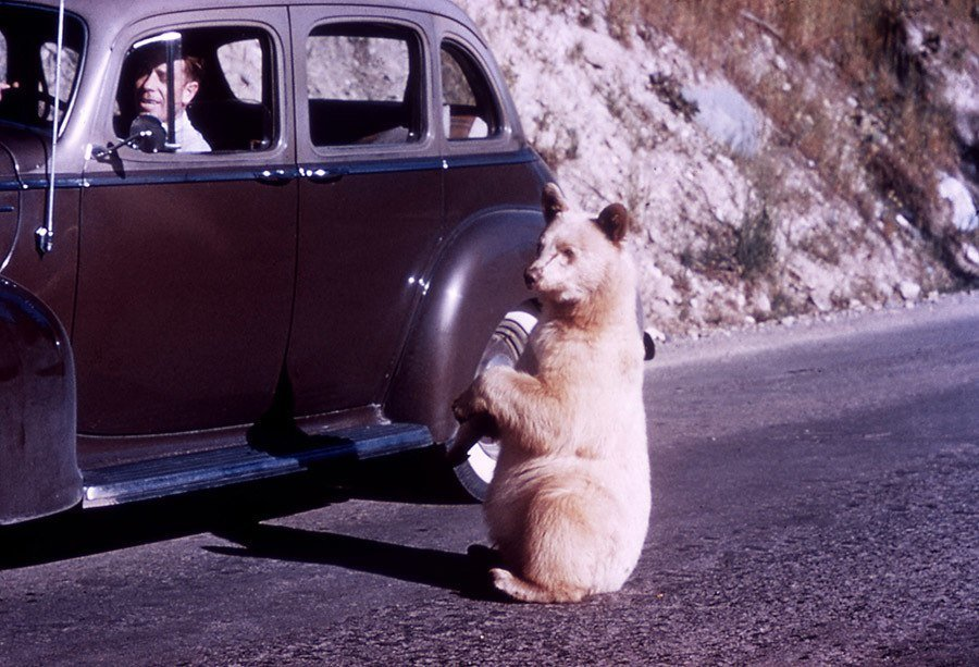 Bear Cuddles With Car