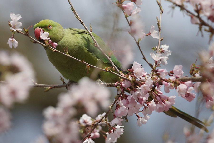 Bird Cherry Blossom