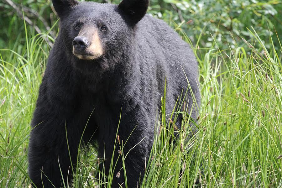 Black Bear Killed