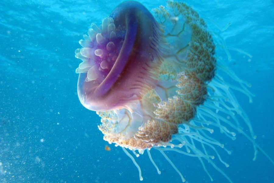 Cauliflower Jellyfish Facts