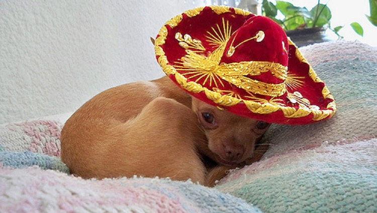 Chihuahua Cinco De Mayo