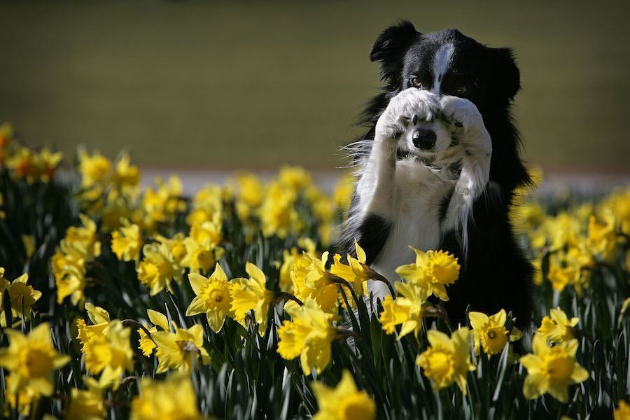 Dog Yellow Flower