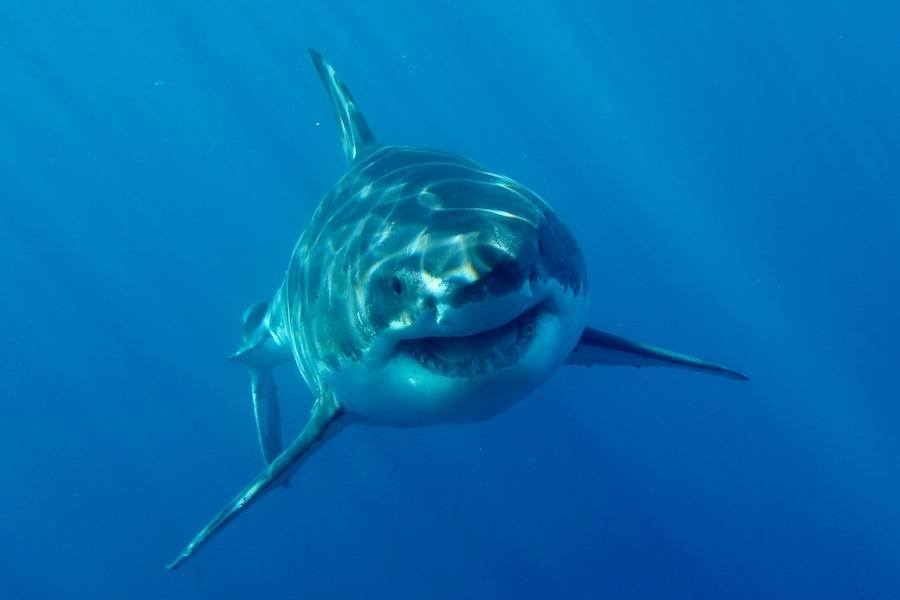 Great White Face Flickr