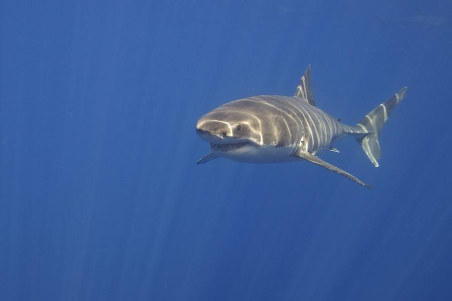 Great White Shark Facts About Their Tongue