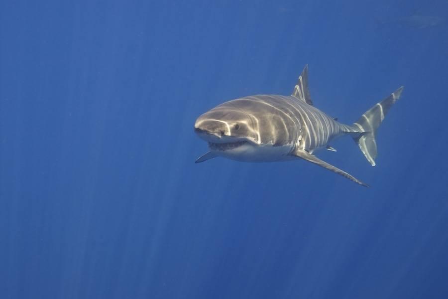 Great White Shark Blue