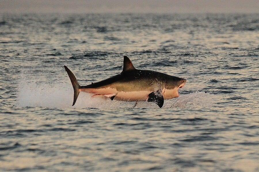 Great White Shark Breech