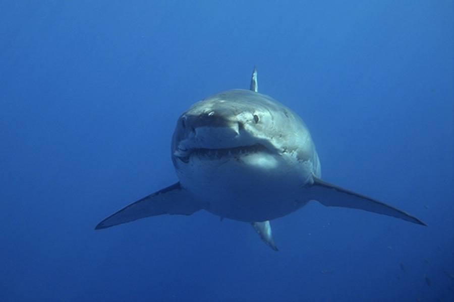 Great White Shark Depth Record(dorsalfinedotcom)