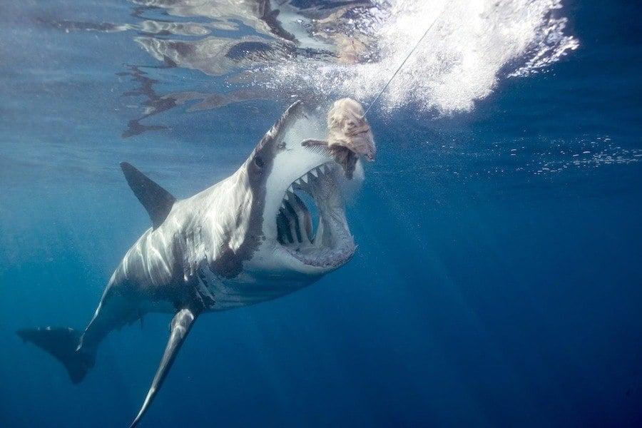 Great White Shark Eating