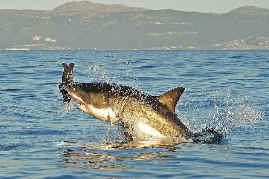 Great White Shark Seal