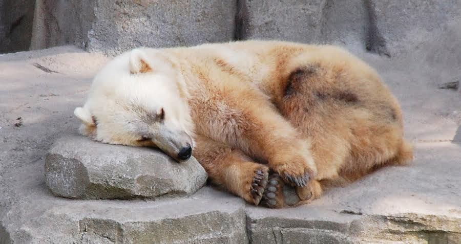 Grizzly Polar Bear Hybrid