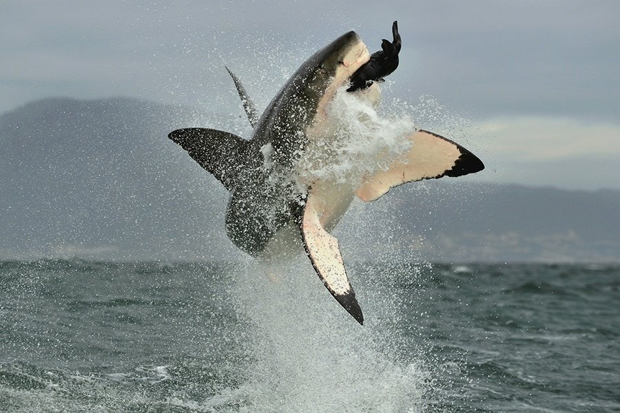 Jump Great White Shark Food