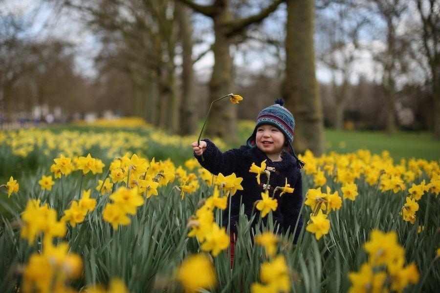 Little Boy Tulips