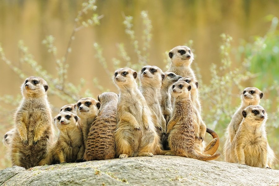 Meerkat Mating Competitive Eating