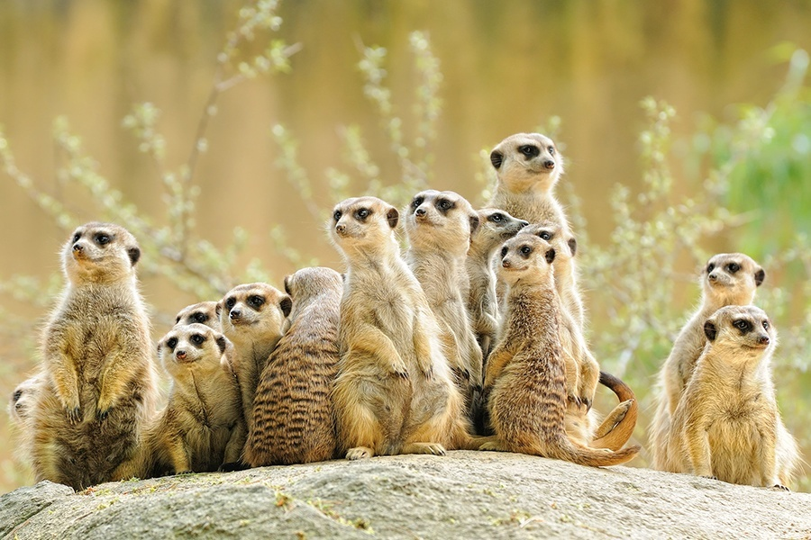 Meerkats Engage In Competitive Eating For Mating Rights, New Study Finds