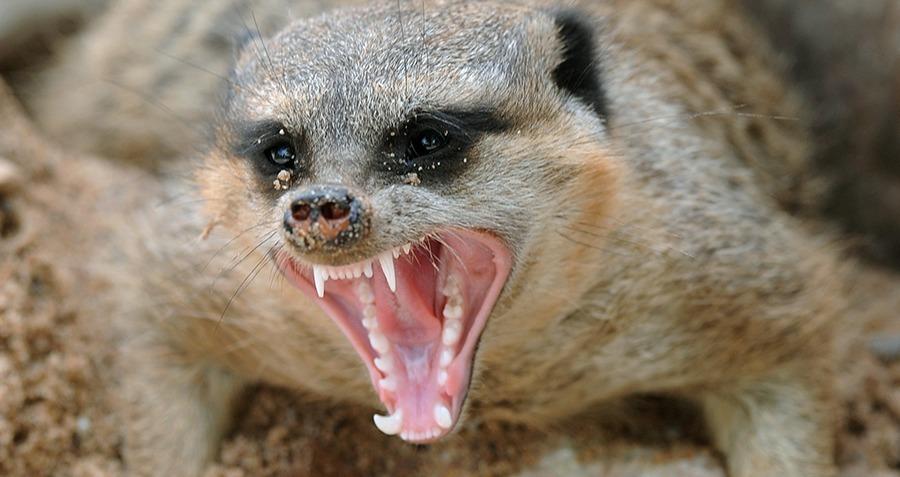 meerkats eating