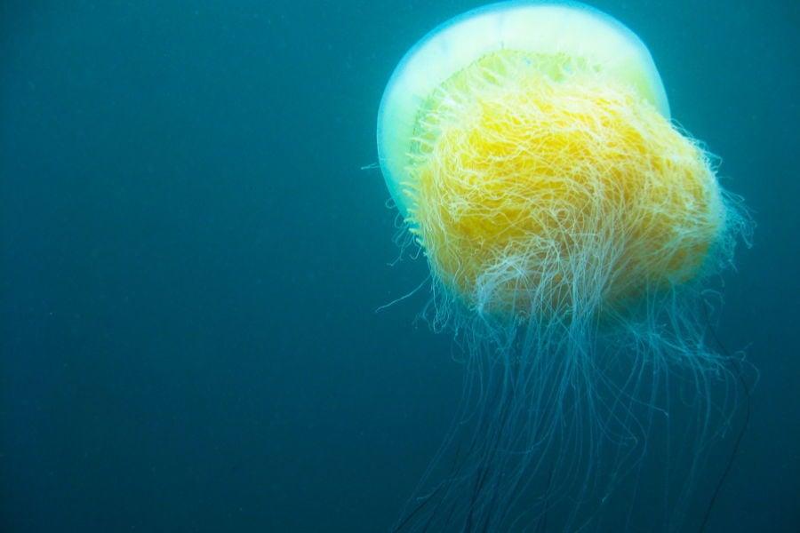 Nomura Jellyfish Tentacles