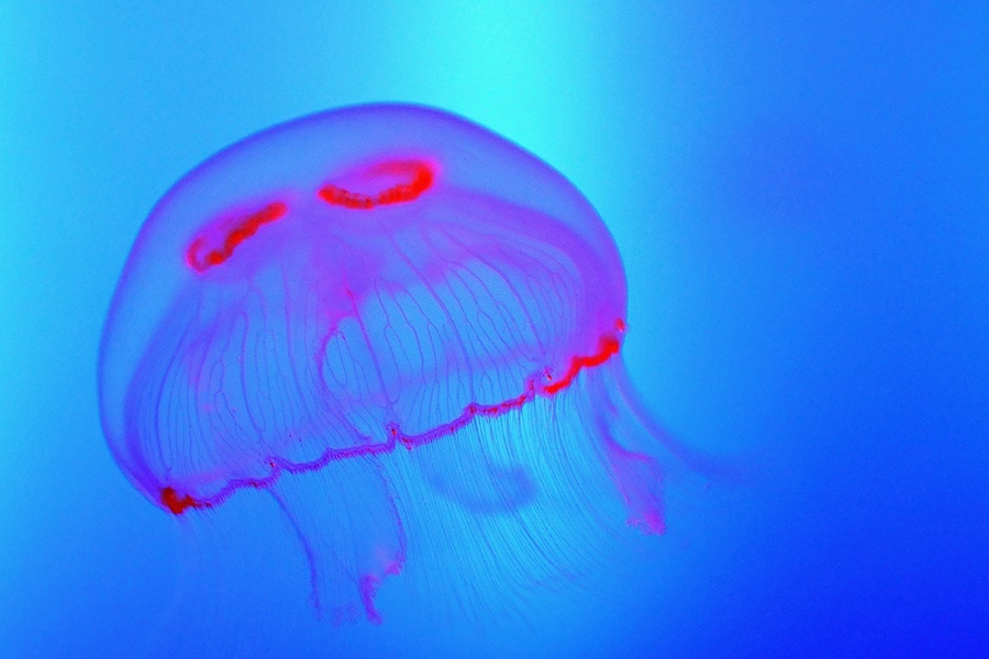 Pink Blue Jellyfish