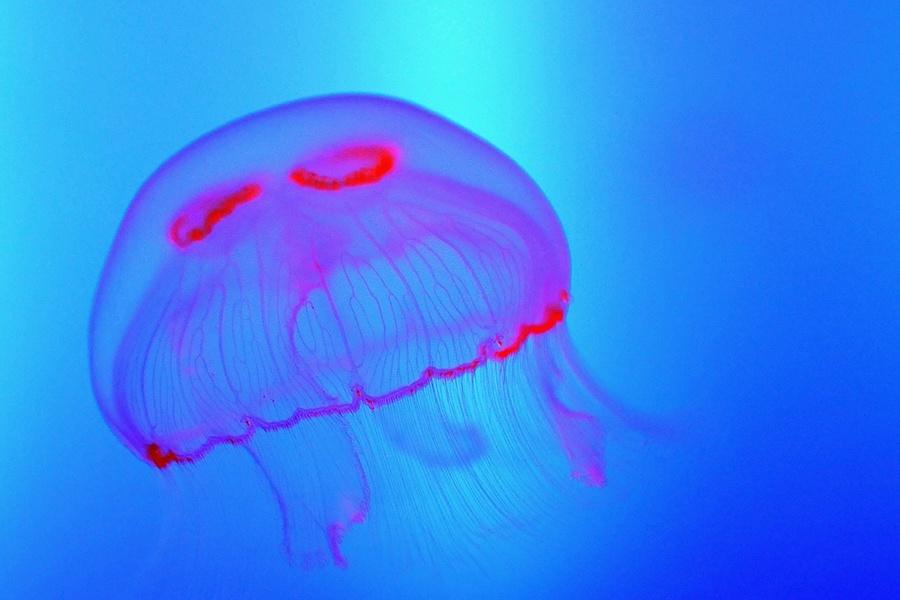 Pink Blue Jellyfish