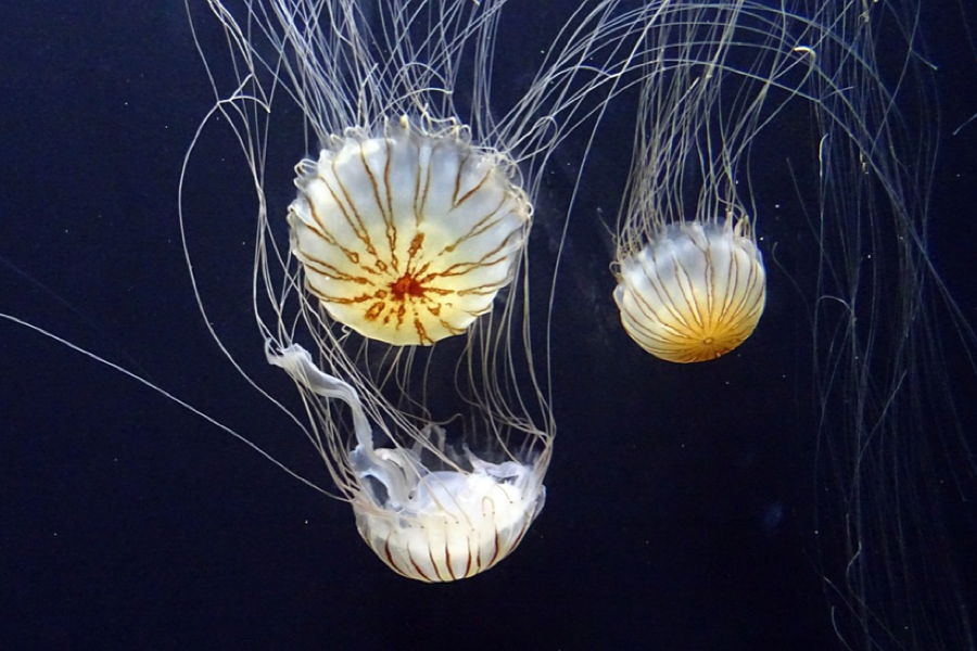 Striped Jellyfish Upside Down