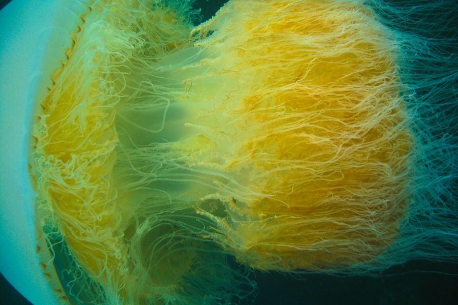 Tentacle Spaghetti Jellyfish