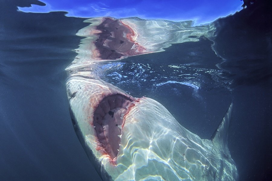 Underwater Great White Shark Facts