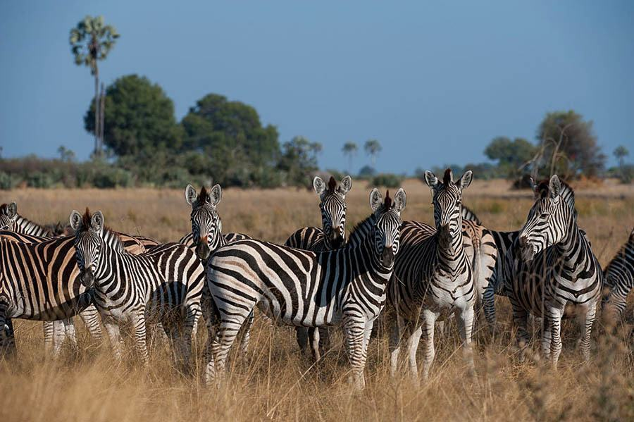 A Herd Of Burchell's Zebras (Equus Quagga) In The Chitabe