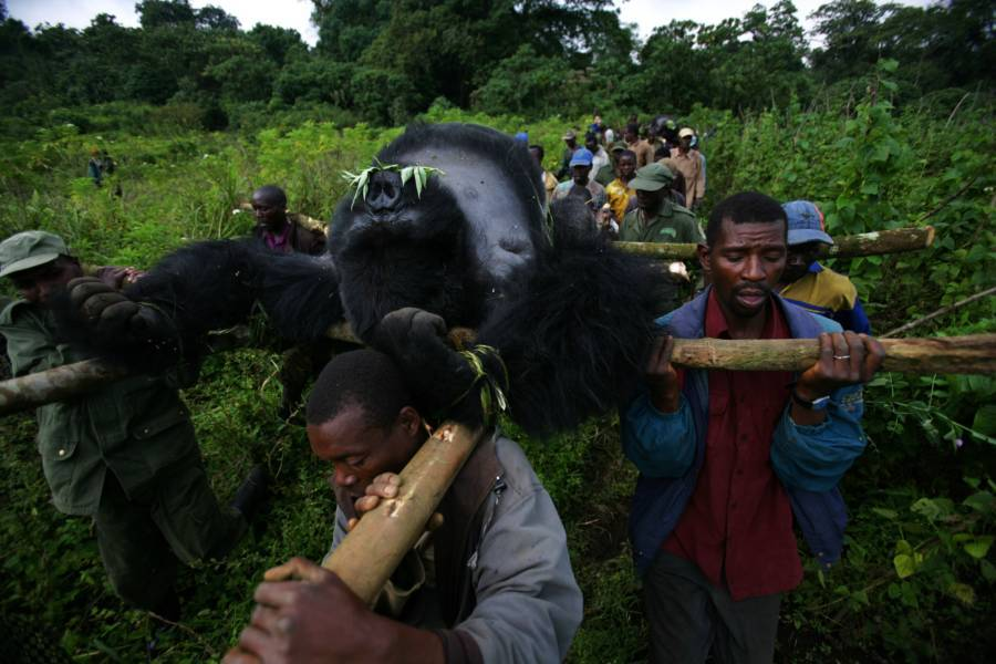 Gorilla Killed Virunga 2007