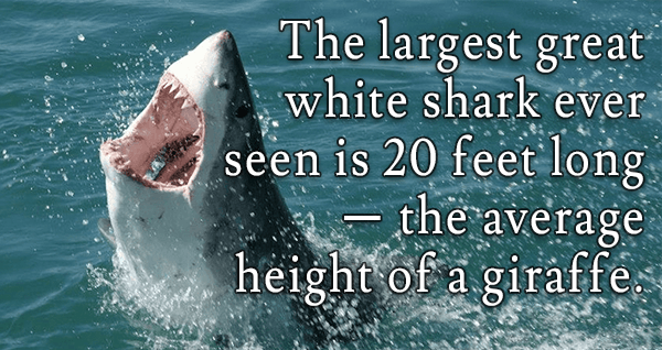 15 Interesting Great White Shark Facts That Will Blow Your ...