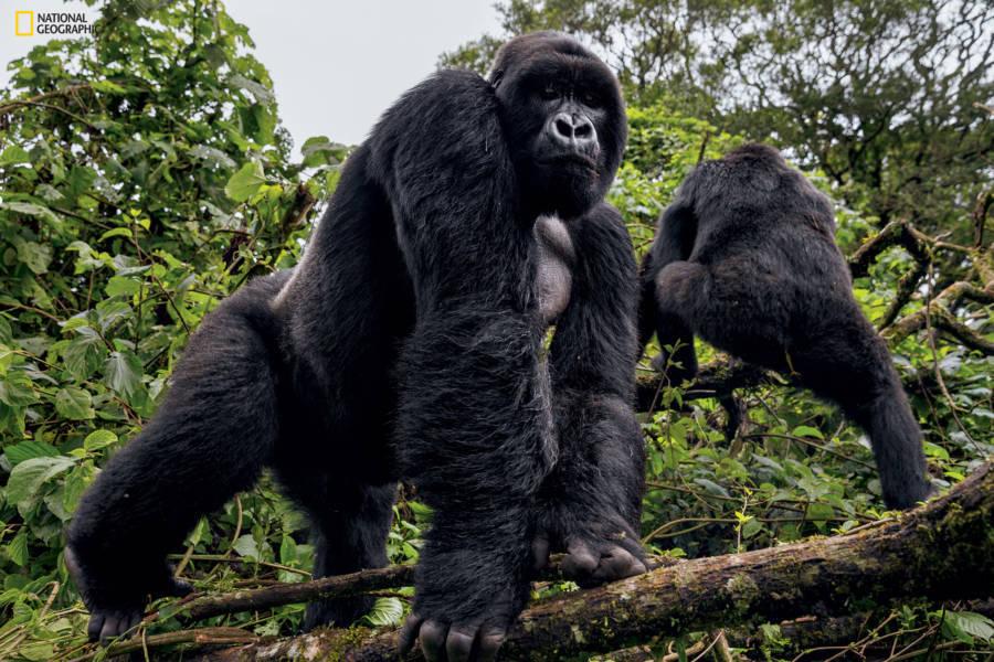 Virguna National Park Gorillas