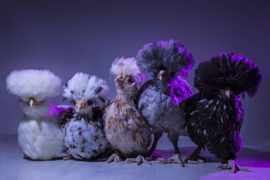 Chic Chicks ©Dan Bannino   Little Ones3 Fluffy