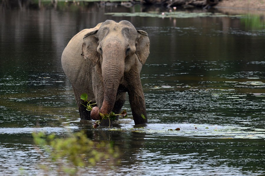 Asian Elephant Water
