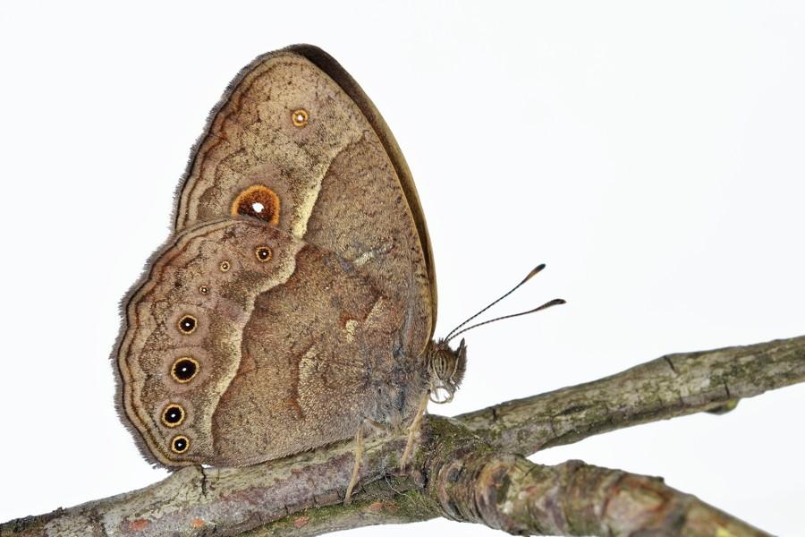Butterfly Wings Branch