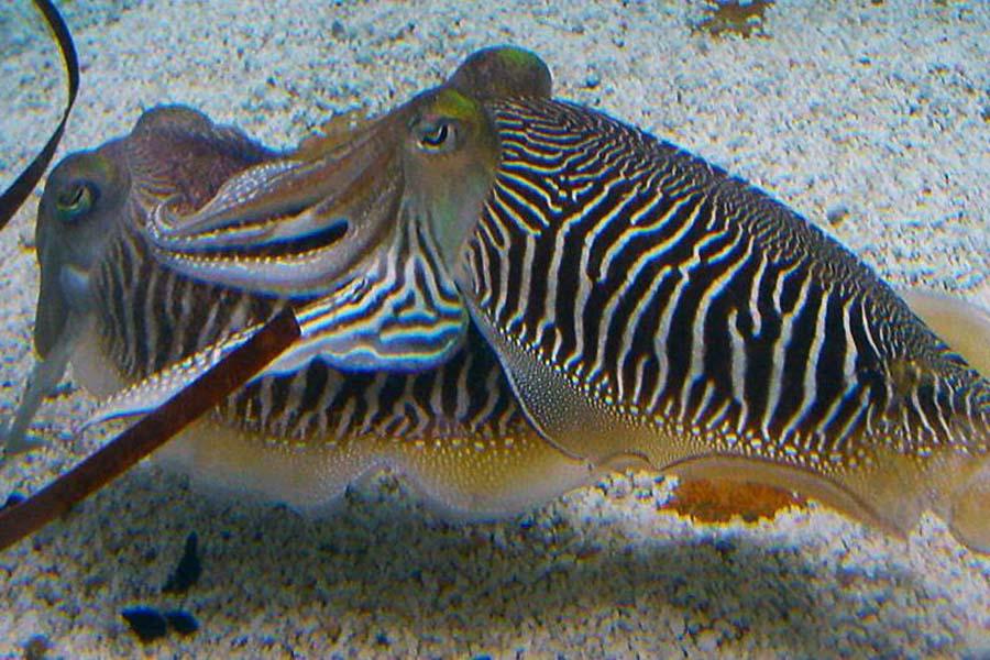 Cuddling Cuttlefish