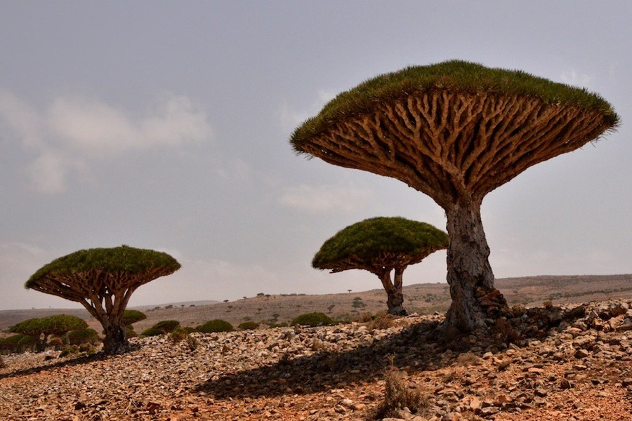 Dragon Blood Tree On Socotra Island