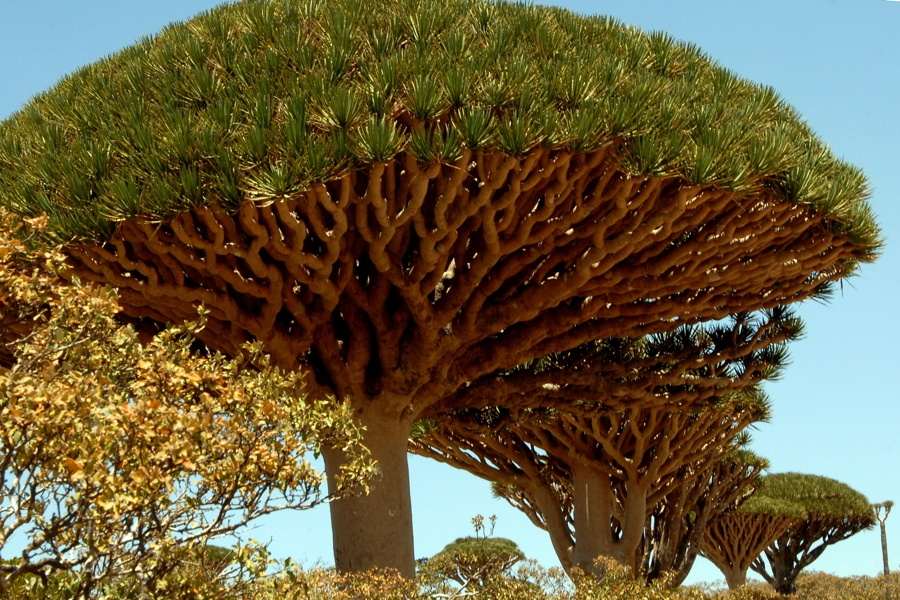Dragon Blood Tree Branches