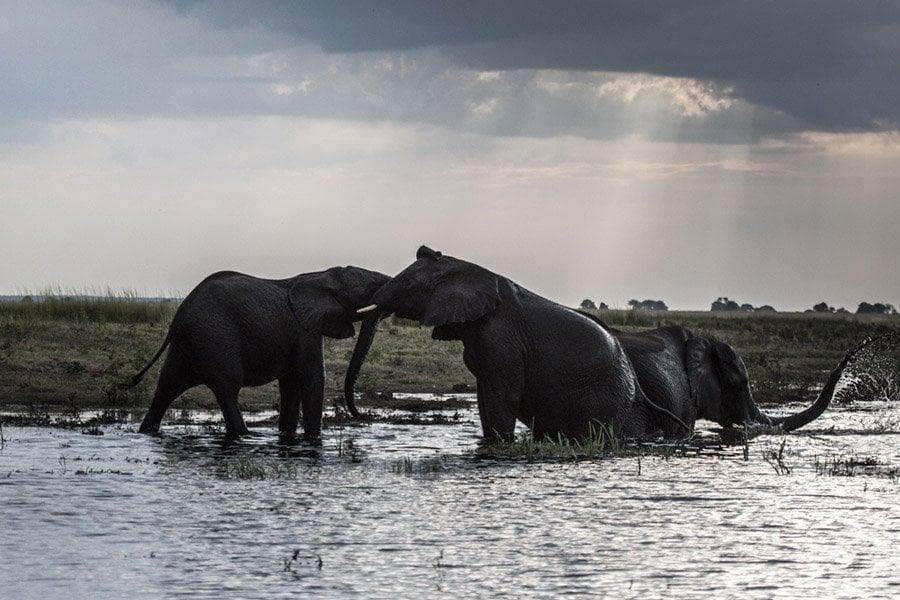 How Elephants Greet Each Other