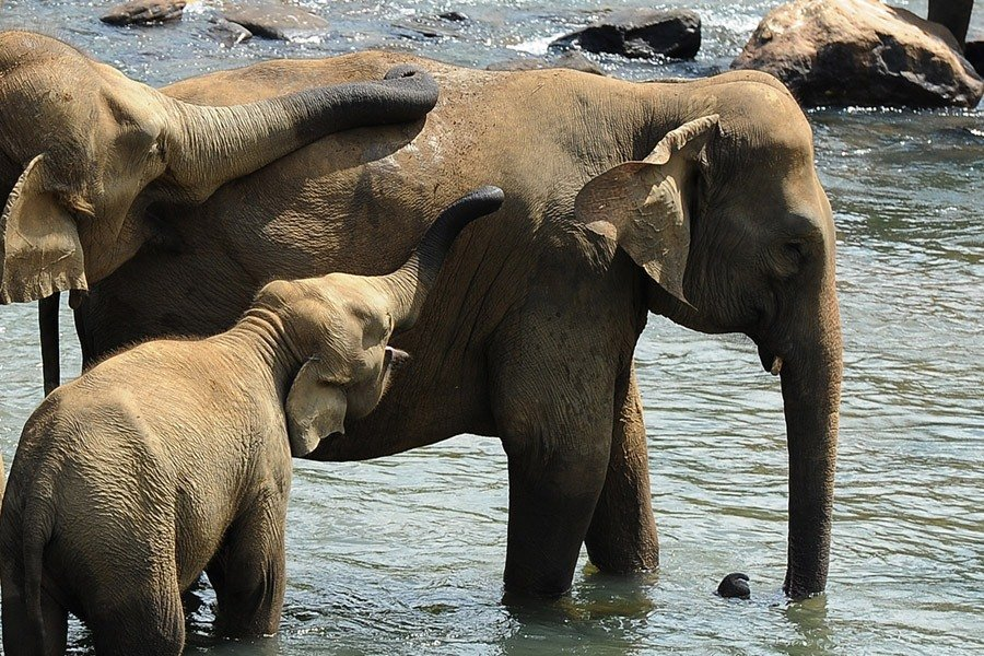 How Elephants Comfort One Another