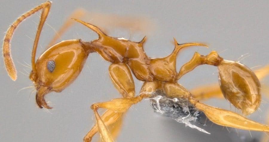 Pheidole viserion Ant