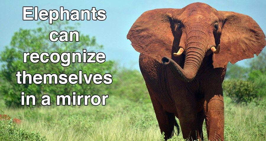 elephant facts Interesting facts about elephants for kids and adults we reveal facts about the history, biology and behavior of this majestic and popular animal.