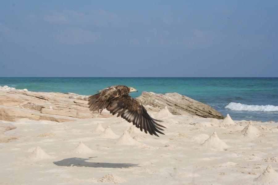 Socotra Bird In Flight