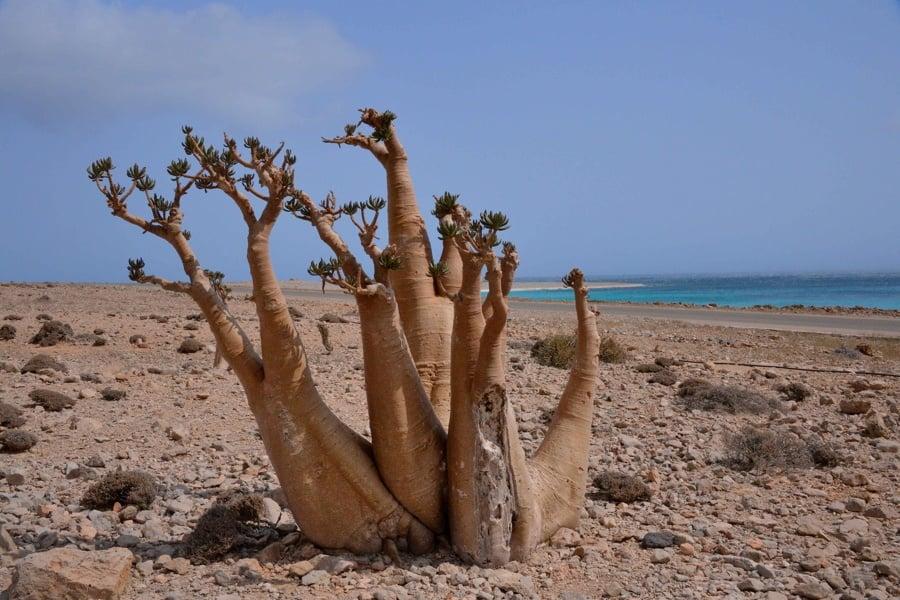Socotra Bottle Tree Beach