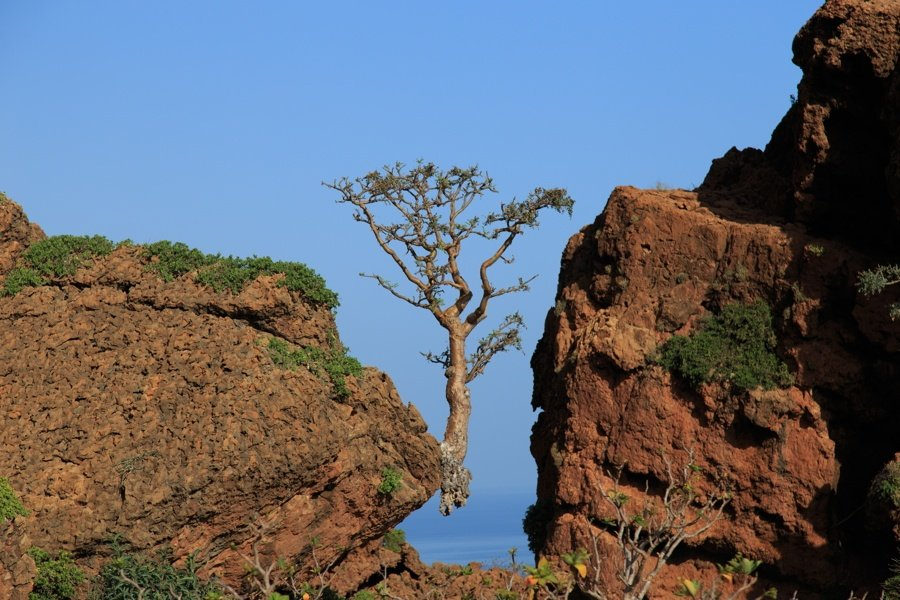 Tree On Cliff In Socotra