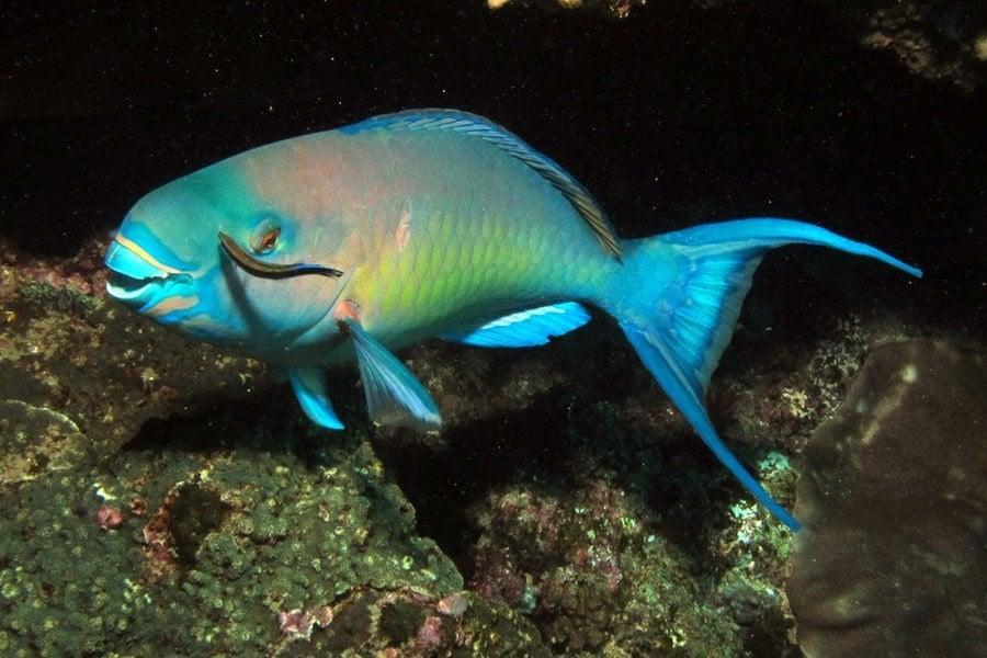 Vibrant Parrotfish