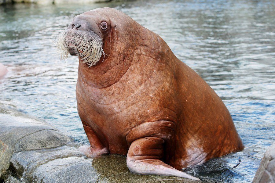 Arctic Animals Walrus