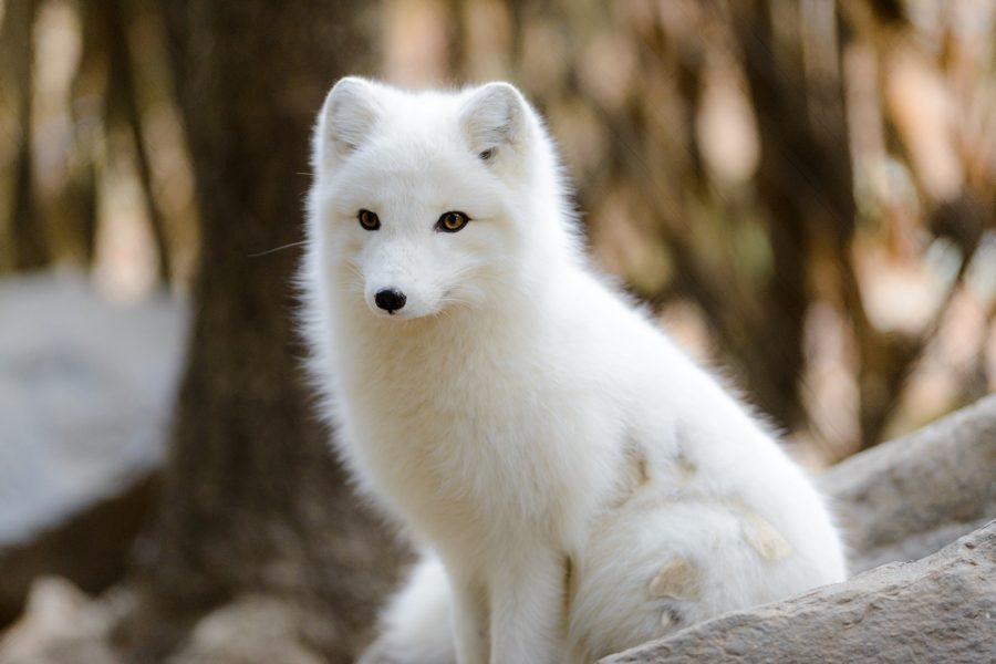 Arctic Fox Sitting